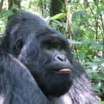 Western & Eastern Gorilla : Where do silverback (mountain) gorillas live