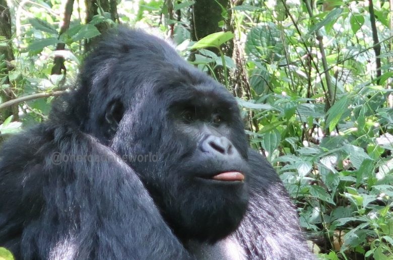 Western & Eastern Gorilla : Where do silverback (mountain) gorillas live
