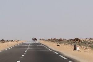 camels-highway-western-sahara